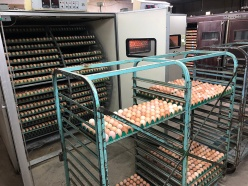 Getting eggs out of the incubator to put into the hatcher.