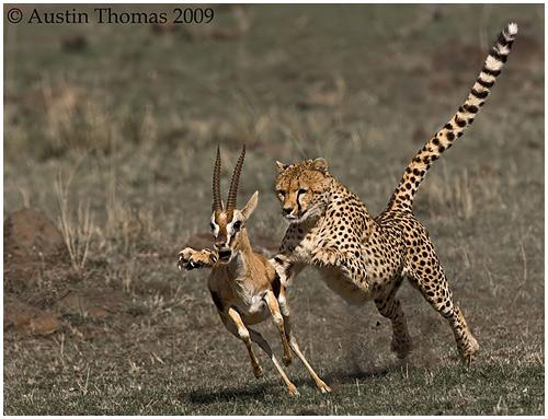 cheetahchasinggazelle
